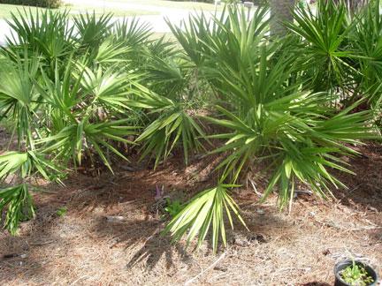 Bitkiler prostat büyümesine iyi gelen bitkiler prostat