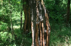 Sığla Ağacı ve Yağının Faydaları